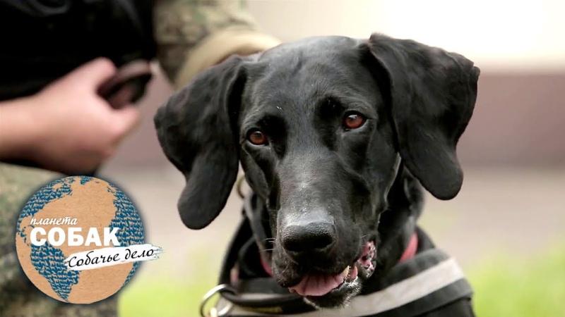 Планета собак Собачье дело Собака таможенник Йоркширский терьер спрингер спаниель