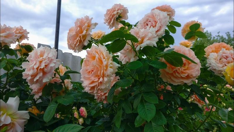 Плетистые розы Что делать
