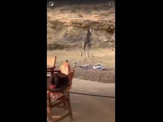 Пьяная драка двух кенгуру в баре.mp4