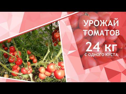 Как получить 24 кг томатов с одного куста микробиологические препараты серии СТИМИКС в помощь