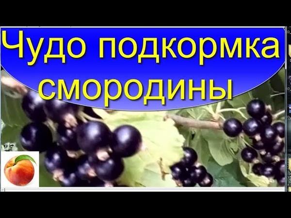 Чудо подкормка для Смородины Ягода станет больше и вкуснее Miracle fertilize Сделайте это дома