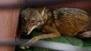 Волк дополз до обочины и молил о помощи проезжающие автомобили, лишь один человек остановился