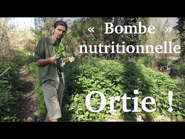 Jus dortie, la bombe nutritionnelle du printemps - www.regenere.org