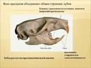 8 класс. Биология. Рукокрылые и грызуны