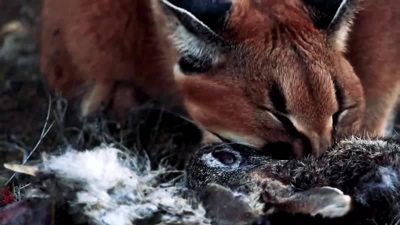 КАРАКАЛ кот охотник берберийская рысь Каракал против шакалов факты и жизнь дикой кошки