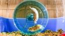 Russian Hamster Vs. Hamster Wheel!   Pets: Wild At Heart   BBC Earth