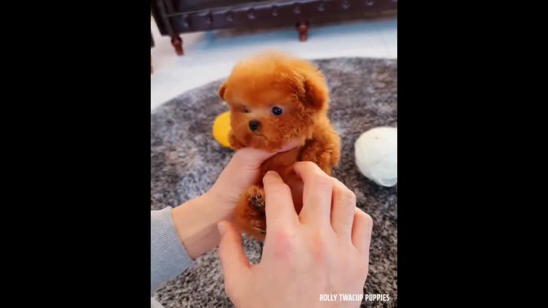 Rolly Teacup Puppies Micro Poodle Male 💙NUGGET💙 Facebook