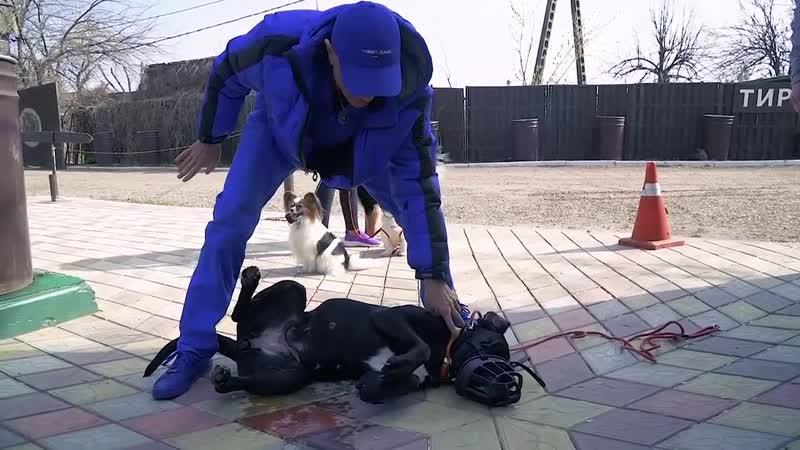 Антуан Наджарян показывает некоторые нюансы 'укладывания' смирения агрессивной неуправляемой собаки
