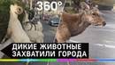 Дикие животные захватили города по всему миру