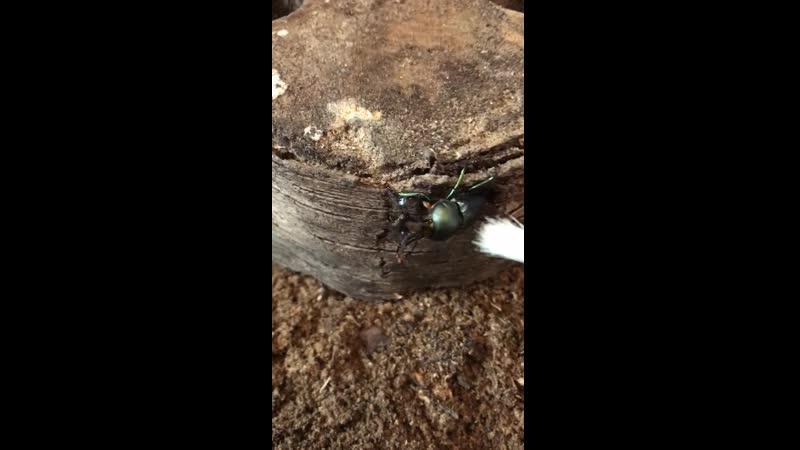 Жук Lamprima adolphinae