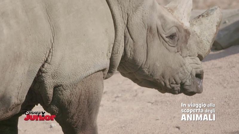 Disney Junior In Viaggio Alla Scoperta degli Animali Rinoceronti