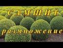 САМШИТ (БУКСУС - BUXUS) - или КРОШКА НА МИЛЛИОН . Размножение черенкованием. Подробная инструкция.