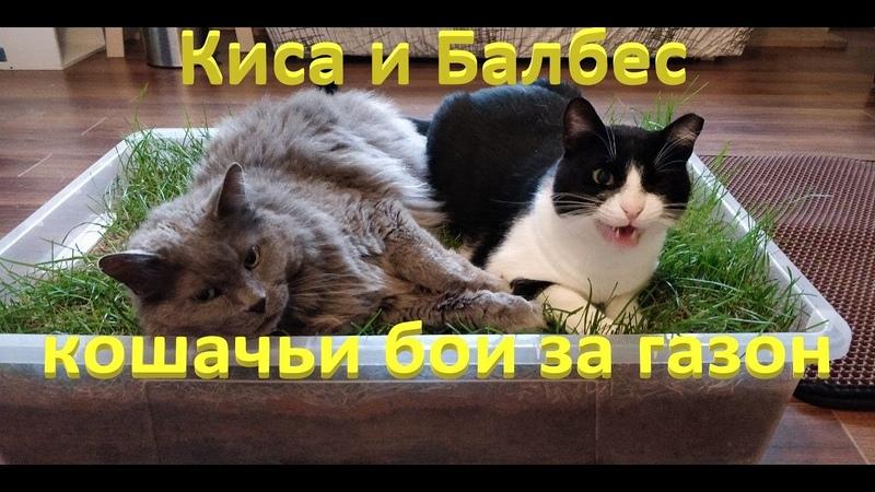 Котики: Киса и Балбес кошачьи бои за газон