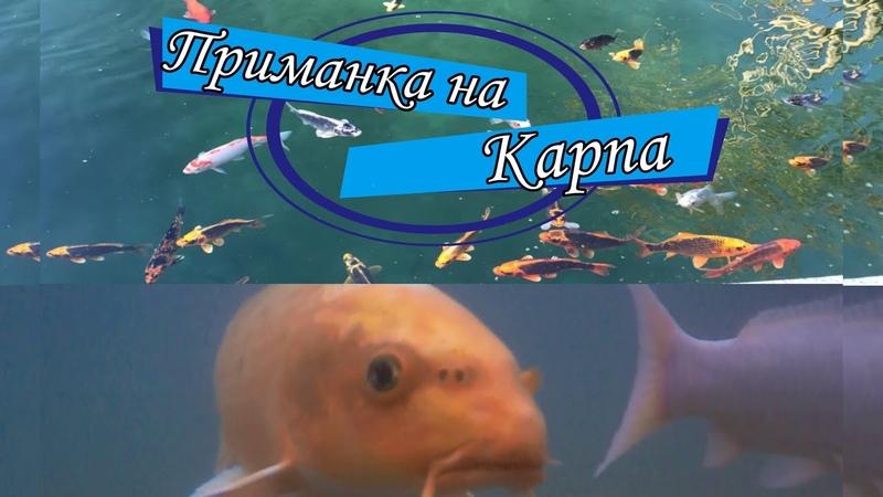 Приманка на карпа Как рыбы реагируют на камеру