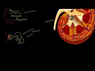 Строение почки и нефрона (Раздел: Биология человека)
