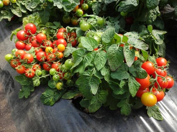 Особенности выращивания томата на подоконнике. Любимец кулинаров томат можно выращивать не только летом. Весь год он может радовать яркими, сочными плодами с восхитительным ароматом. Для этого