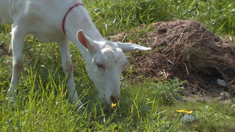 Новоуренгоец разводит коз и мечтает о большой ферме