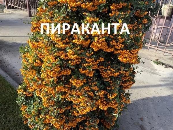 ПИРАКАНТА КОРОЛЕВА ОСЕНИ Pyracantha Queen of autumn