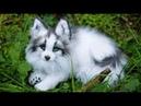 Белая лиса разговаривает Снежная грузинская лисица Домашняя лисица и кот Лиса домашняя fox foxs