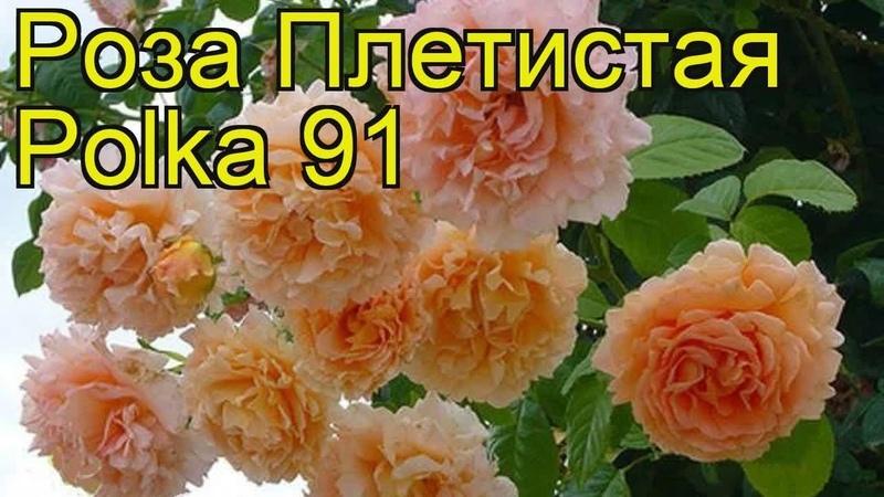 Роза плетистая Полька 91 Polka 91 Краткий обзор описание характеристик где купить саженцы