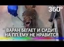 Варана посадили на диету. Фаня из Калининградского зоопарка худеет на пробежках и червяках