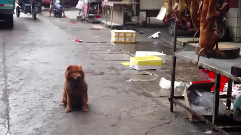 YULIN FESTIVAL The fate of abducted pets 360 X 360 mp4