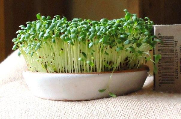 Как вырастить кресс-салат на подоконнике