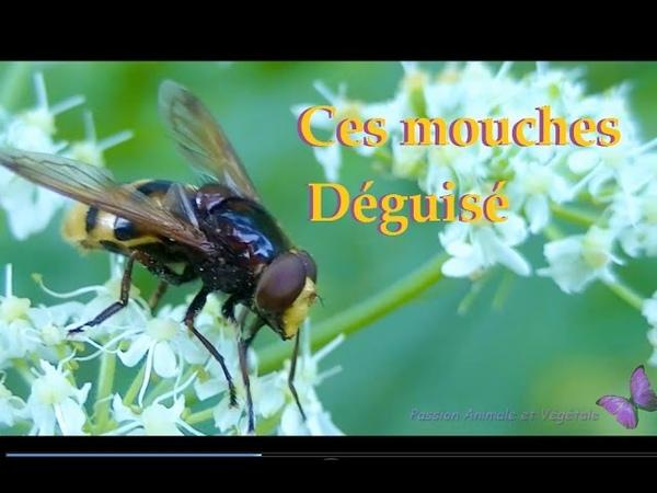 Syrphe, ces mouches déguisé en abeille guêpe ou bourdon, étonnant .