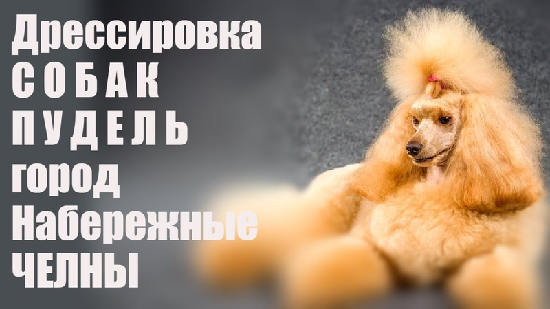 Дрессировка собак Пудель город Набережные Челны