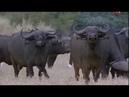 Буйвол хозяин Африки. Мир диких животных. Документальный фильм National Geographic.