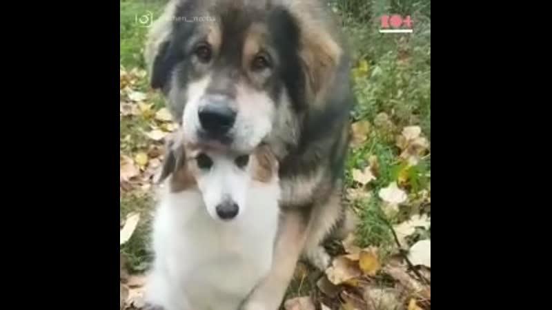 Старенькая маленькая собачка дружит с гигантским тибетским мастифом