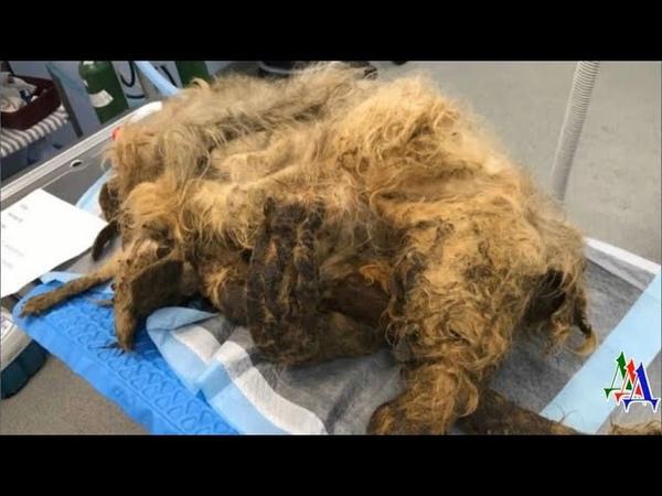 Даже опытные ветеринары ужаснулись увидев несчастного пса в таких колтунах