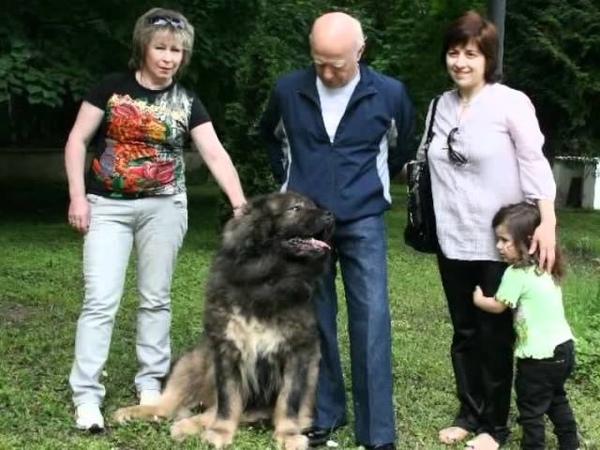 Кавказская овчарка Басмач.