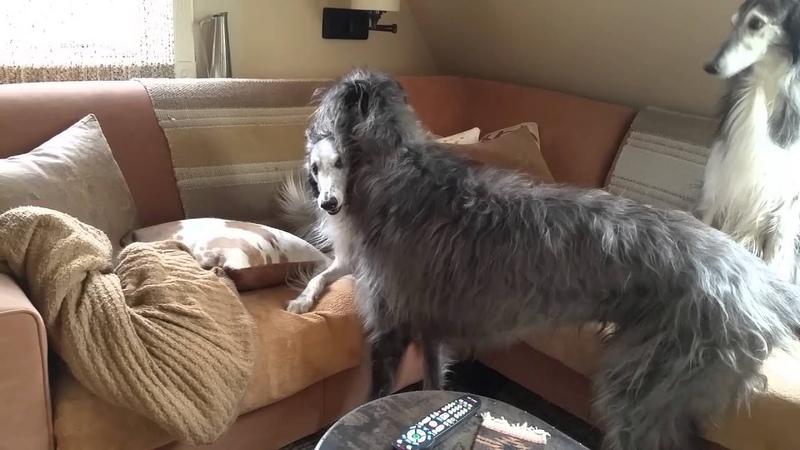 Scottish Deerhound playing with Silken Windounds